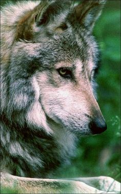 Wolf in Clearing Montana Wallpaper Wolves Animals Wallpapers in Beautiful Wolves, Animals Beautiful, Wolf Pictures, Animal Pictures, Cute Baby Animals, Animals And Pets, Wild Animals, Deer Photography, Wolf World
