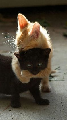 Amour de chats 🧡🧡🧡 chats calin – Chats et chatons- chaton mignon -… Cute Cats And Kittens, I Love Cats, Crazy Cats, Kitty Cats, Black Kittens, Puppies And Kitties, Adorable Kittens, Cute Black Kitten, Kittens Cutest Baby