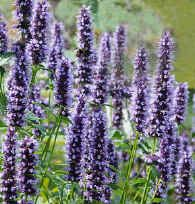 Erfly Bee Nectar Black Adder Anise Hyssop Agastache