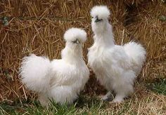 pic-White Silkie Chickens