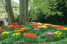 Tulips on Mainau.