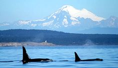 Going Whale Watching in Vancouver, BC #Canada in March #Orcas #Killer Whale