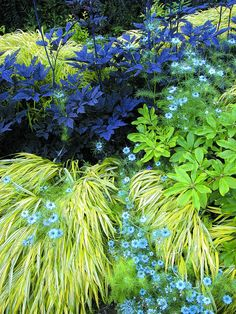 Dark leafed Actaea simplex 'Hillside Black Beauty' with Japanese forest grass (Hakenochloa macra 'Aureola') and blue annual Nigella damascena