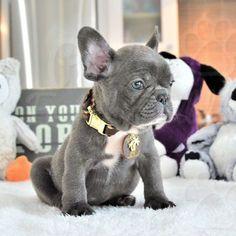 French Bulldog puppy for sale in FORT LAUDERDALE, FL. ADN-61749 on PuppyFinder.com Gender: Female. Age: 8 Weeks Old