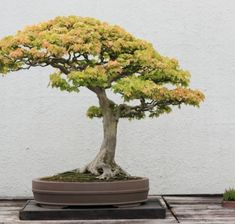 ajan fichte peicea jezoensis als bonsai bonsai b ume pinterest bonsai gardens and. Black Bedroom Furniture Sets. Home Design Ideas