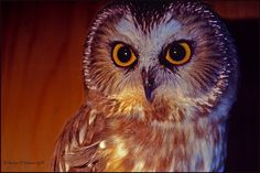 Northern saw-whet owl, by Wily Fawlet. One of my goals this year is to photograph an owl in the wild.