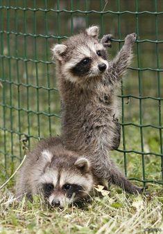 Baby raccoons.  So cute!
