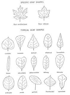 teaching leaf shape - Google Search Botanical Drawings, Botanical Illustration, Leaf Identification, Plant Science, Writing Art, Autumn Crafts, Painting Lessons, Leaf Art, Leaf Shapes