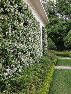 Image result for star jasmine wall