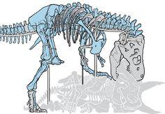 Próximo montaje de Sue para el hall del Smithsoniano. Está en proceso de decapitar a un triceratops.