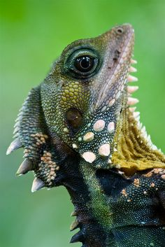 Boyd's forest dragon is a nocturnal arboreal lizard found in the Australian rainforest.