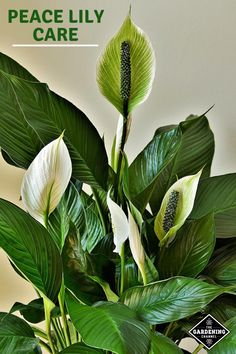 Peace Lily Care: How to Grow Peace Lily Plants Successfully at Home - All For Garden Peace Lily Care, Peace Lily Plant, Best Indoor Plants, Cool Plants, Plantes Feng Shui, Easy House Plants, Ficus, Chlorophytum, Low Maintenance Plants