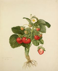 John Charles Robertson -- Strawberry 'Wilmot's Superb' -- Fruit, Vegetables and Herbs -- RHS Prints
