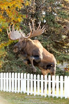 Photo of Large bull moose jumping white picket fence in Anchorage, Southcentral Alaska, Autumn