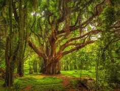 Honolua Forest - Maui Hawaii. Literally like a dairy take forest. One of the most beautiful places I have ever been...