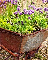 Herb garden in an old wheel barrow - talk about a raised bed! - LOVE this idea!