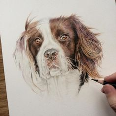Progress on Lillie this morning. For everyone who has been asking what pencils and paper I use: Faber-Castell Polychromos and Caran D'ache Luminance on Fabriano Artistico watercolour paper HOT press (300lb) #springer #spaniel