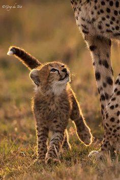 Cheetah cub looking up at Mum with love.