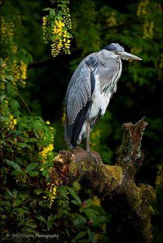 The Elusive Grey Heron.