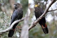 The glossy black cockatoo (Calyptorhynchus lathami), also known as the Casuarina black cockatoo after one of their preferred food items, is the smallest member of the subfamily Calyptorhynchinae found in Australia. Adult glossy black cockatoos may reach 50 cm (20 in) in length. They are sexually dimorphic. Males are completely black in colour, excepting their prominent red tail bands; the females are dark brownish with some yellow spotting. Three subspecies are recognised.