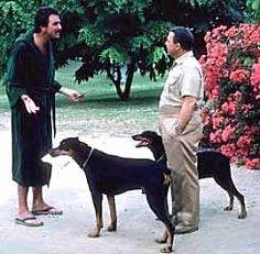 Magnum PI with Tom Selleck Magnum Pi, Tom Selleck, John Hillerman, Jesse Stone, Doberman Pinscher Dog, Doberman Love, Famous Dogs, Blue Bloods, Old Tv