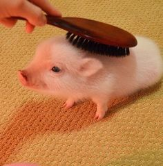 A pig getting brushed