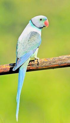 source : indianaturewatch.net _ collection oiseau exotique tropical type perroquet bleu/ male malabar parakeet, also called blue-winged parakeet
