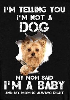 Shorkie Dogs, Biewer Yorkie, Teacup Yorkie, Yorkie Puppy, Baby Dogs, Doggies, Pet Dogs, Raza Yorkshire, Yorky
