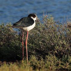 Steltkluut  (Van vroegevogels)