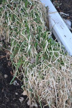 Walking onions are still green, even in winter.