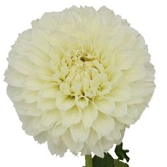 Fresh cut white Dahlia flowers are decorative, ball-shaped flowers with many colorful petals. This white Dahlia is shipped fresh and direct from our farm and wo Wedding Flower Arrangements, Wedding Bouquets, Wedding Flowers, Water Flowers, Summer Flowers, White Dahlias, Dahlia Flowers, Gold Wedding Colors, Blue Wedding