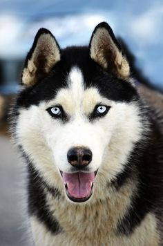 Husky-beautiful.