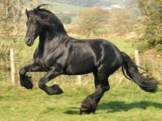 Image Detail For Free Friesian Horse Wallpaper