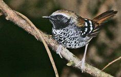 Squamate Antbird. Brazil trip 2010 — Intervales