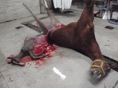 Animal Rights Information and News Resource Blog - Companion Blog for www.geari.org: Yes, Horses Are Still slaughtered for Food: Want Proof? Here is a Photo: Help End it by Signing Petition Asking for Legal Solution to Ending Horror
