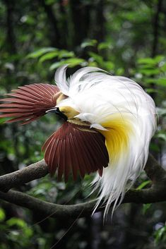 Lesser Bird-of-Paradise - Paradisaea minor