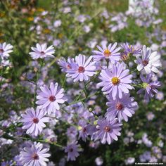 This elegant purple beauty is native to the U.S. and drought tolerant, thriving in dry areas including rocky ledges and meadows. Smooth Blue Aster prefers full sun and is a vital source of nectar and pollen for a variety of pollinators, including butterflies and bees. All of the seed we handle at American Meadows is non-GMO, neonicotinoid-free and guaranteed to grow. Perennial.