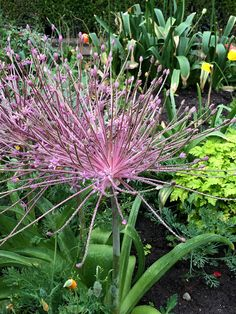 Allium at Getty Cent