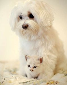 Minnie, the tiny white kitten was found at the foot of a tree near a restaurant.  She now is perfectly at home with her surrogate mom, a Maltese dog.
