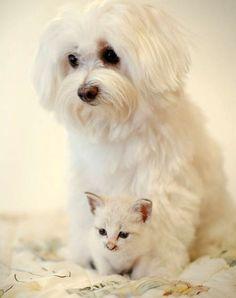 kitten and surrogate mom
