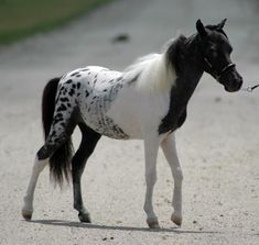 #horses  a Pintaloosa - combination of a pinto and appaloosa @Briana O'Higgins O'Higgins O'Higgins O'Higgins Atwell