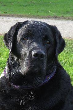 Labs, Labrador Retriever, Sweet, Animals, Outdoor, Labrador Retrievers, Candy, Outdoors, Animales