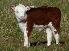 Calf Love-Looks like one of Vindercater's.