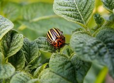 Pryč s mandelinkou: snadno, rychle a navždy - Babinet.cz Natural Insecticide, Japanese Beetles, Insect Pest, Neem Oil, Organic Gardening Tips, Biologique, Garden Pests, Pest Control, Homesteading