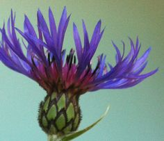 #scotch thistle royal blue-purple against aqua by Janine Morrison