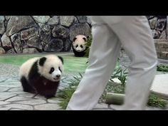 Man Approaches These Adorable Baby Pandas. Watch What The Little One In Front…