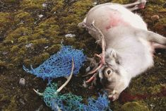 Reindeer entangled in fishing nets  new report illustrates the scale of contamination in the Norwegian and Barents Seas north of Scandinavia, and shows that no corner of the Earth is immune from the scourge of plastic pollution.  Virtually everywhere researchers look they find plastic, according to the report by the Norwegian Polar Institute.