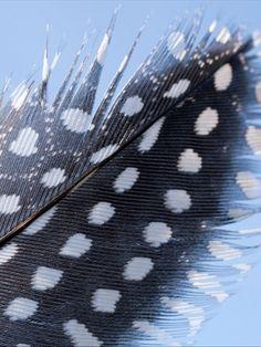 Feather patterns reveal stem cell secrets    - Rachel Sullivan  ABC -- Guinea fowl: feathers have complex pigment patterns
