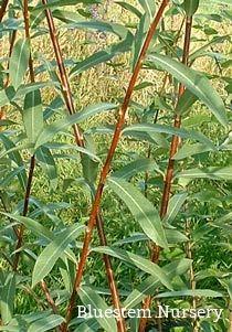 Salix x 'Americana'