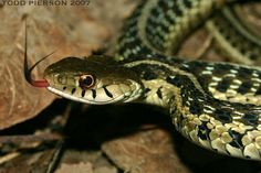 A World of Snakes.........: Thamnophis sirtalis (Non-Venomous) Known as Common Garter snake